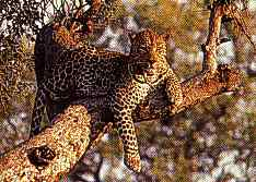 Leopards are natural enemies of monkeys